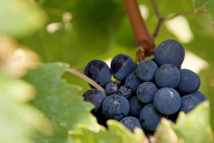 pinot noir grape 750px