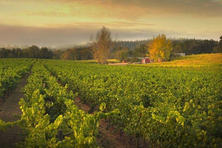 Russian River Valley Ramey Wine Cellars Westside Farms vineyard 750px