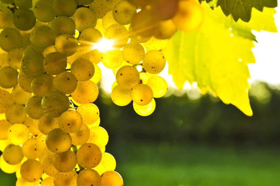 Chardonnay grapes are known as neutral grapes, which means they\'re not aromatic.