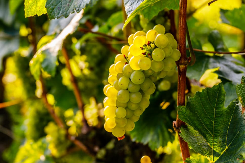 Chardonnay is the most popular white wine grape variety in the world.